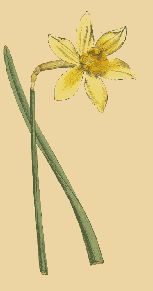 Narcissus Incomparabilis