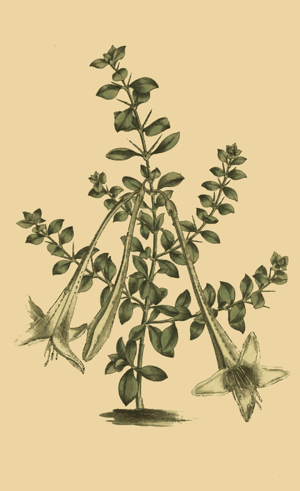 Catesbæa Spinosa