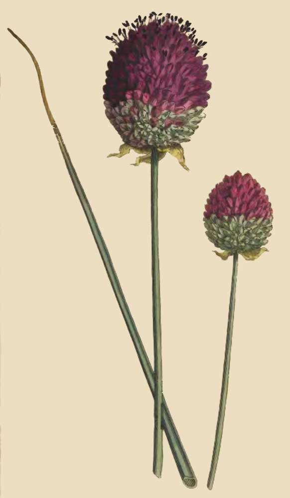 Allium Descendens