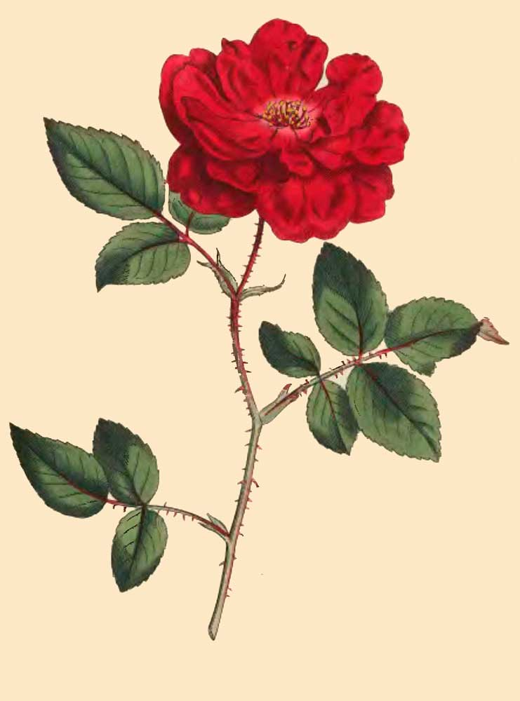 Rosa Semperflorens