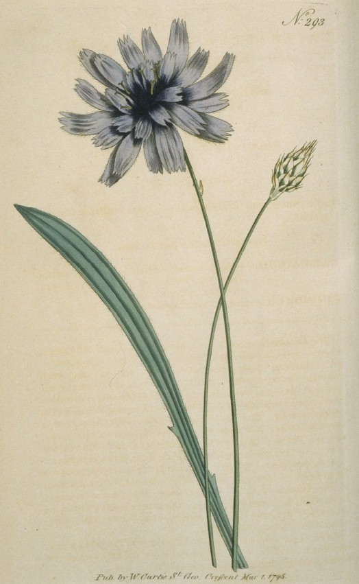 Catananche Cærulea