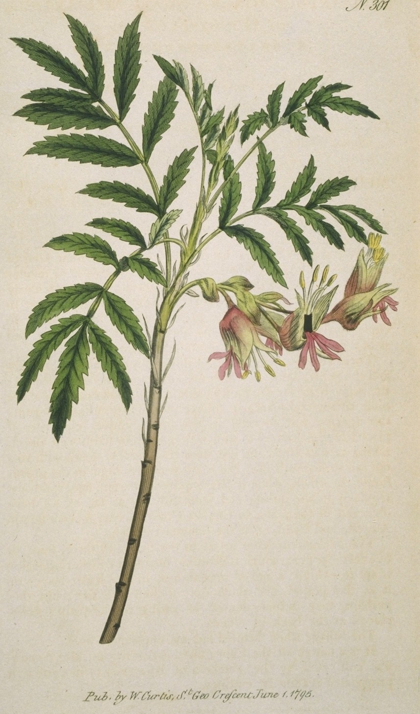 Melianthus Minor