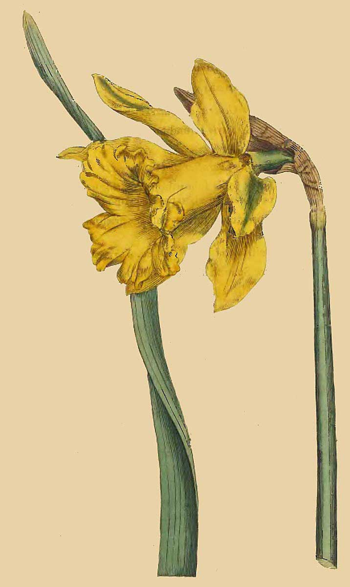 Narcissus major